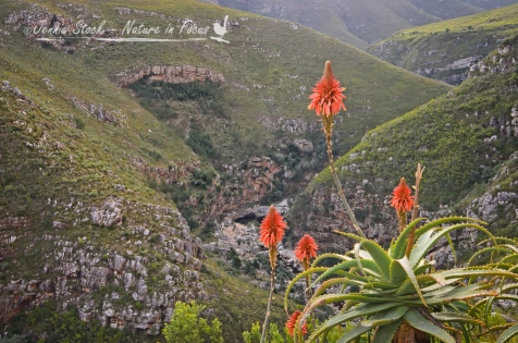 Tradouw Pass with aloes, Western Cape, South Africa