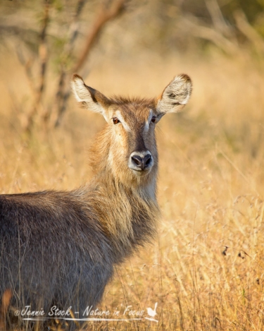 Waterbuck female portrait