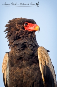 Portrait of a Bateleur eagle