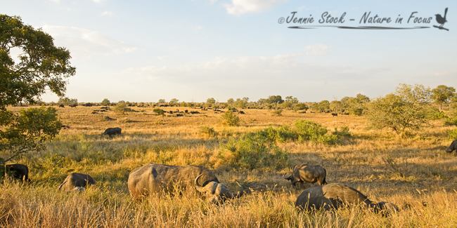 Huge buffalo herd near Satara