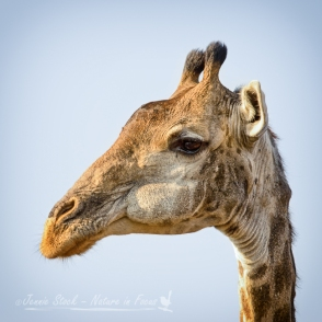 Giraffe portrait in colour