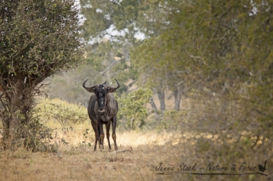 Lonely wildebeest in the bushveld