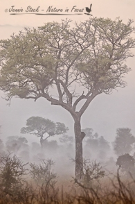 Eerie bushveld in the morning mist
