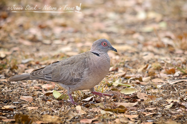 A very pretty Mourning dove in camp at Satara
