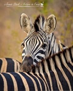 Plains zebra peeking over another's back