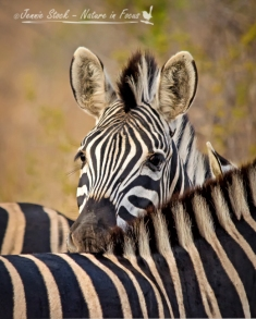 Plains zebra peeking over another's back