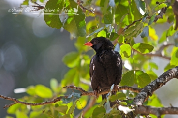 Red-billed buffalo weaver in Satara camp