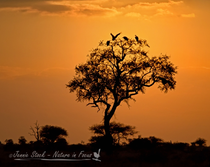 Vultures settling in a tree at sunset