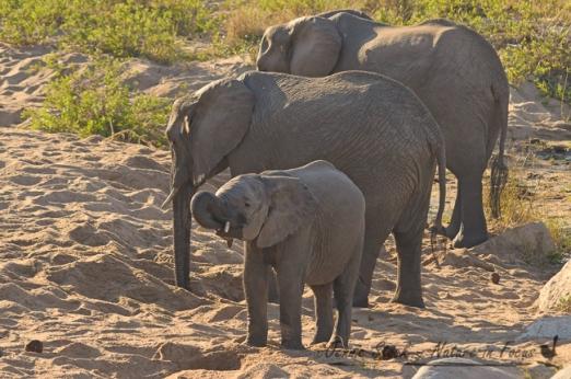 Baby elephant drinking