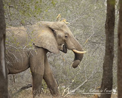 Elephant feeding on branches