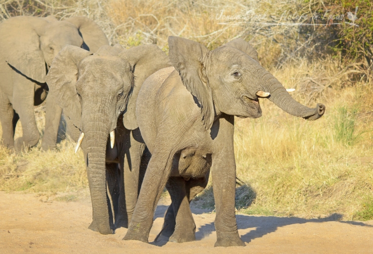 Elephant swinging trunk in river bed