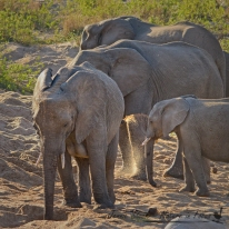 Elephants looking for water in the river bed