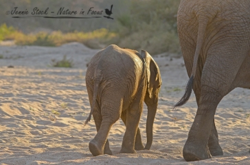 Baby elephant following mum out of the river bed