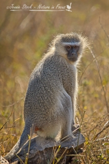 Vervet monkey catching the sun