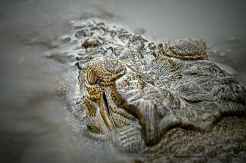 Crocodile eye close-up