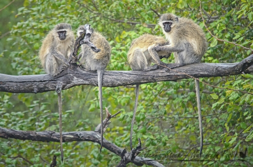 Damp vervet monkeys on branch