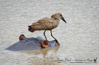 Hamerkop using hippo as perch