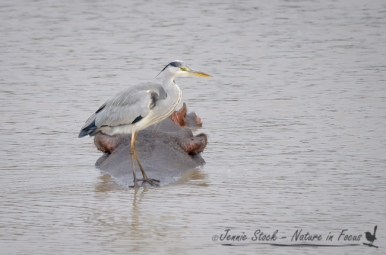 Heron on hippo