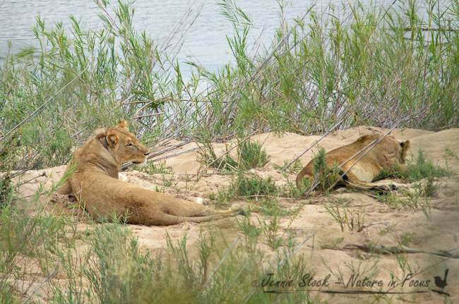 Lions at the beach©Jennie Stock – Nature in focus