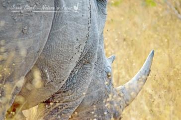 Rhino in long grass
