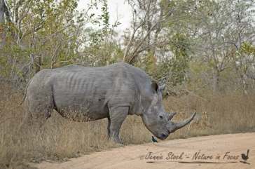 White rhino with starling