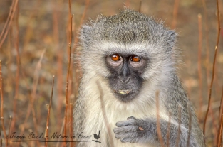 Young vervet portrait
