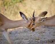 Grooming impala