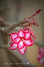 Impala lily (Adenium multiflorum) - in a garden in the Eastern Transvaal, South Africa