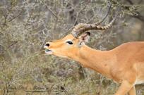 Impala ram roaring