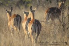 Impala tails