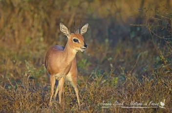 Steenbok at sunrise