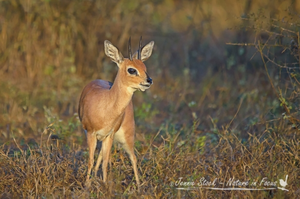 Steenbok en ram