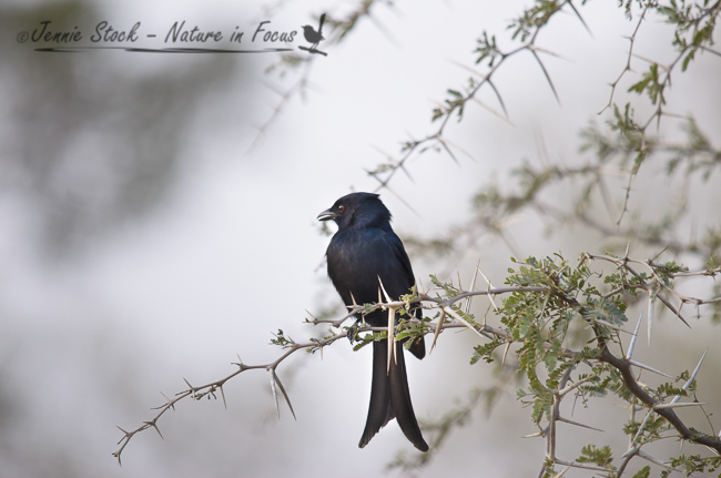 Fork-tailed drongo sitting pretty among the acacia thorns