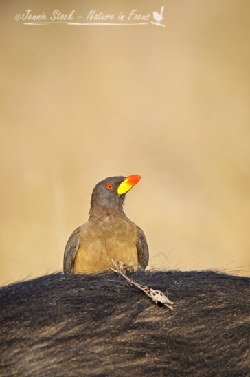 Yellow-billed oxpecker perched on Cape Buffalo