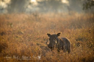 Warthog at sunrise