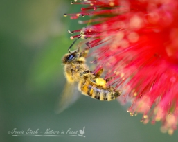 Bee on red callistemon
