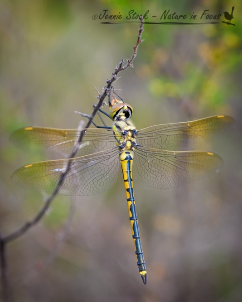 Bold Park dragonfly