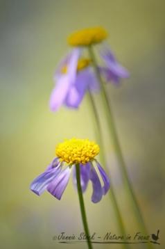 Droopy daisy