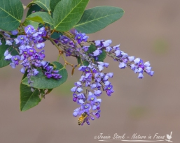 Native wisteria and bee