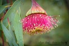 Pear-fruited mallee (Eucalyptus pyriformis)