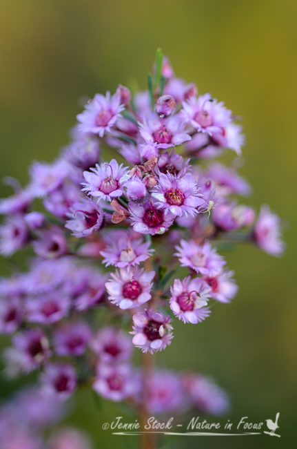 Pink verticordia from the garden