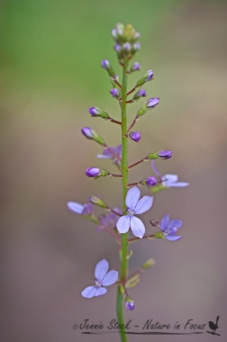 Stylidium - or triggerplant, also considered a carnivorous plant.