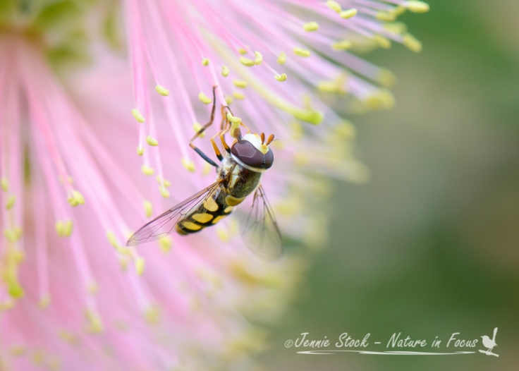 Tiny fly on Callistemon flower