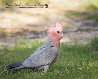 Galah in early morning light at Wave Rock campsite