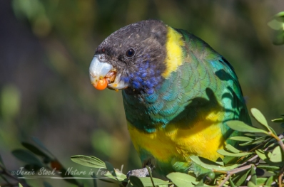 Australian ringneck with berries for breakfast