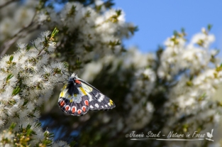 Spotted Jezebel butterfly