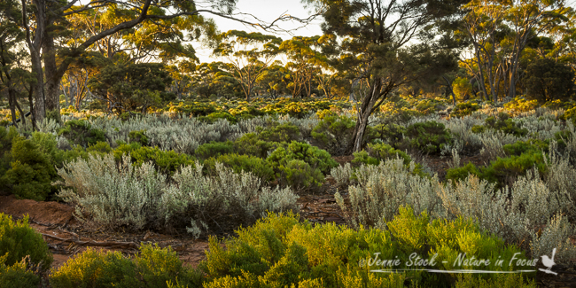 Sunset in the Great Western Woodlands, Norseman