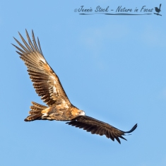 Soaring Wedge-tailed eagle
