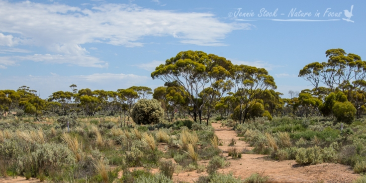 Balladonia bushland©Jennie Stock – Nature in focus