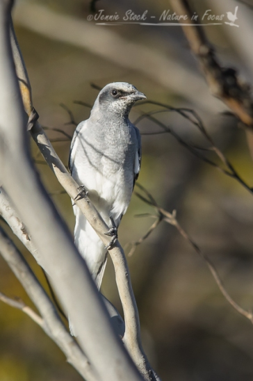 Juvenile Black-faced cuckoo-shrike
